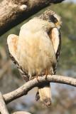 Crested serpent eagle (spilornis cheela), Ranthambore, India, December 2009