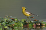 Citrine wagtail (motacilla citreola), Bharatpur, India, December 2009