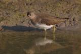 Green sandpiper (tringa ochropus), Bharatpur, India, December 2009