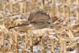 Sparrowhawk (accipiter nisus), Aclens, Switzerland, February 2010