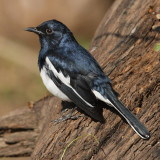 Thrushes, finches, larks, warblers and crows