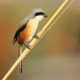 Shrikes and babblers