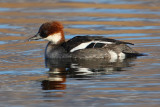 Smew (mergellus albellus), Champ-Pittet, Switzerland, February 2010