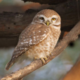 Spotted owlet (athene brama), Bharatpur, India, December 2009