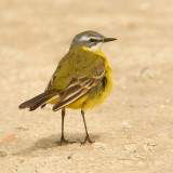 Yellow wagtail (motacilla flava iberiae), San Pedro del Pinatar, Spain, April 2010