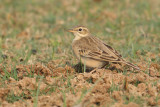 Tawny pipit (anthus campestris), Bharatpur, India, December 2009