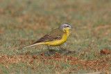 Yellow wagtail (motacilla flava beema), Bharatpur, India, December 2009
