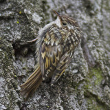 Short-toed treecreeper, Preverenges, Switzerland, May 2006