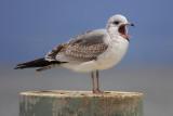 Common gull (larus canus), Morges, Switzerland, December 2007