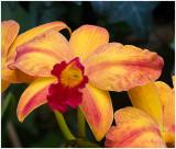 Orchid 2 Longwood