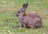 feral European Rabbit
