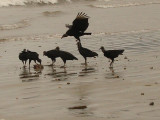 South Americal Birds