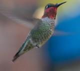 male Anna's Hummingbird (Calypte anna).