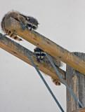 raccoon refuge