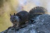 California Ground Squirrle