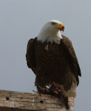 Bald Eagle on duck.jpg