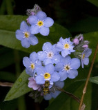 Bee at Forget Me Not