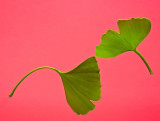 Twin Gingko biloba leaves