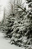 Porterville Pines
