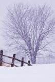 Knox Farm Tree and Fence 9:08 AM