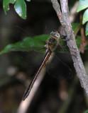 Neocordulia spec