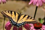 Eastern Tiger Swollowtail Butterfly