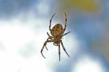 Garden spider Araneus diadematu. AKA Cross Spider