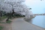 Cherry Blossoms 2007, Washington D.C.