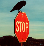 Raven on a Stop Sign