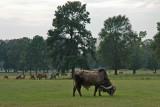 texas_cattle
