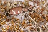 Northern dune tiger beetle, Cicindela hybrida, Brun sandspringer 1