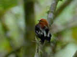 Club-winged Manakin2