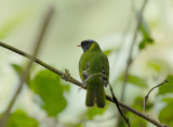 Green-and-black Fruiteater3
