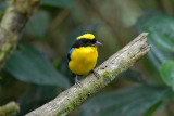 Blue-winged Mountain-Tanager2