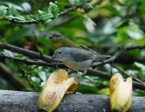 Thick-billed Euphonia2