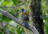 Toucan Barbet3