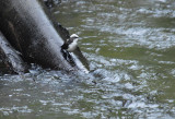 White-capped Dipper2