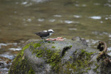 White-capped Dipper3