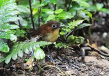 Yellow-breasted Antpitta2