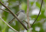 White-tailed Tyrannulet