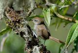 Puna Thistletail
