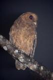 Rufescent Screech-Owl