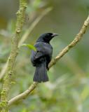 Scrub Blackbird