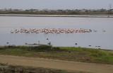 Chilean Flamingo flock