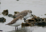 Western- and Semi-palmated Sandpipers