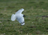 Andean Gull3