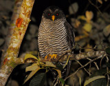 San Isidro Owl