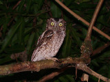 West-Peruvian Screech-Owl