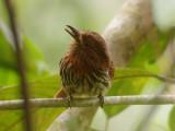 White-whiskered Puffbird2