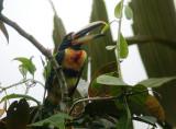 Pale-mandibled Aracari2